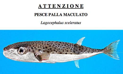 Pesce Palla Maculato Fonte: ilfattoalimentare.it