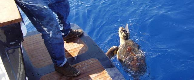 Punta Campanella, salvate altre 6 tartarughe negli ultimi giorni Fonte: corsoitalianews.it