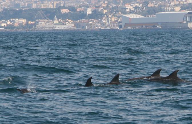 Giocando con i delfini tra Ischia e Napoli. Fonte: Associazione Napoli Dive Inn