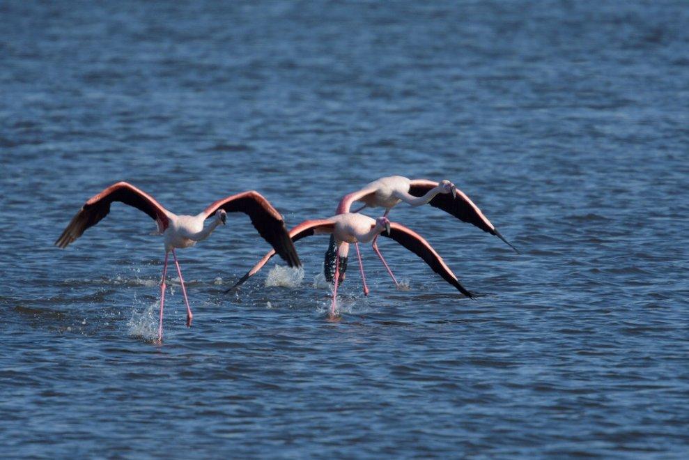 Fenicotteri Rosa a Lago Patria. Fonte: napoli.repubblica.it