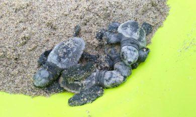 Castel Volturno, uno spettacolo eccezionale: la nascita di piccole tartarughe marine