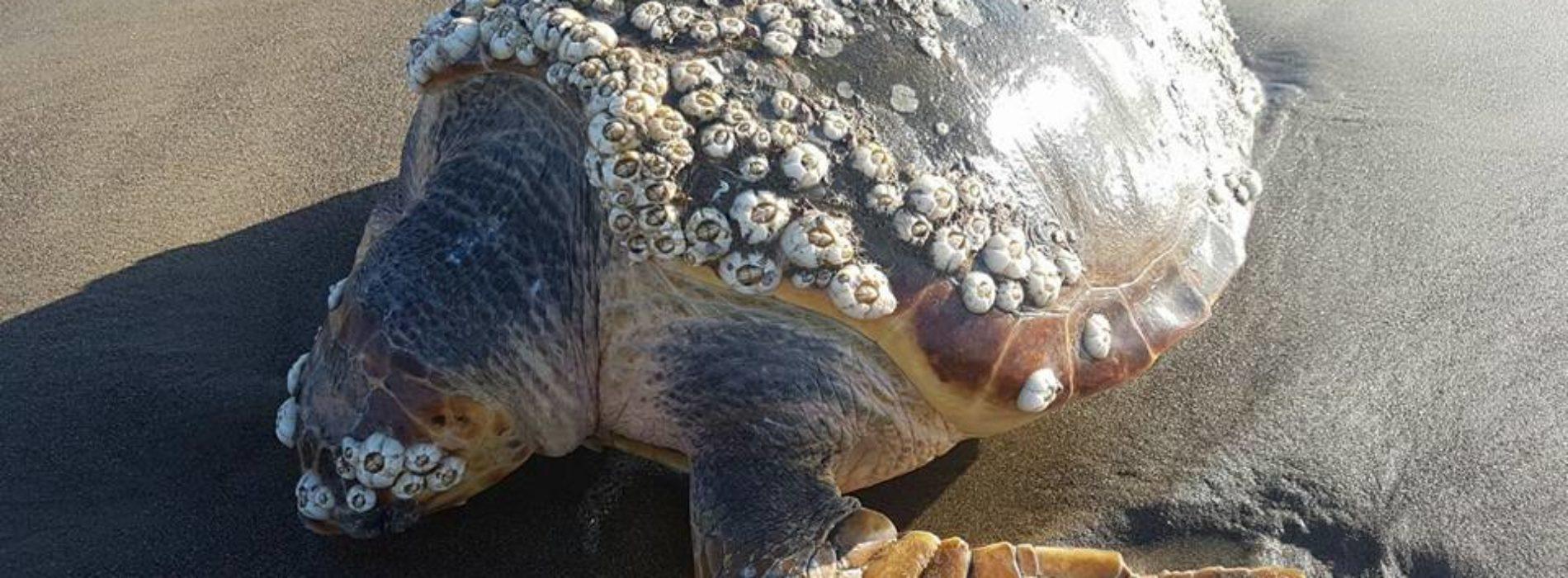 Tartaruga Caretta Caretta morta a Licola. L'SOS: «E' la terza dall'inizio dell'anno» (Cronaca Flegrea)