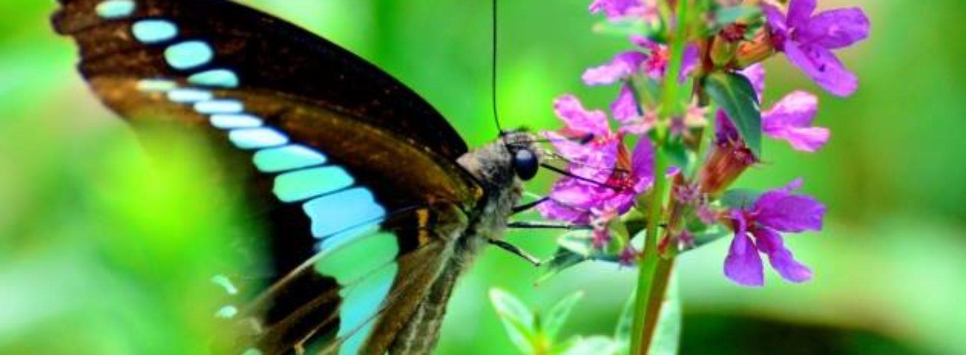 Universo delle Farfalle: appuntamento all'Orto Botanico di Napoli